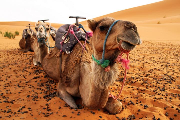 cammelli-sahara-marocco